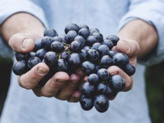 la maturazione dell'uva, e la vendemmia