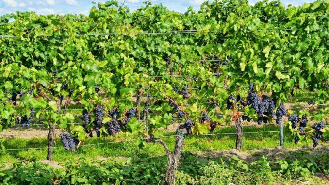 viticoltura biologica